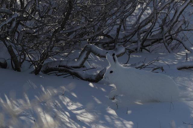 استتار خرگوش در برف