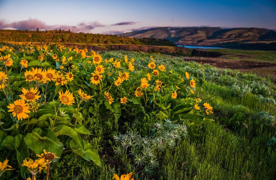 گل آفتاب گردان بهار