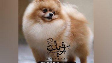 Photo of خرید سگ پامرانین و یورکشایر و همه چیز درباره این نوع نژاد 🐶