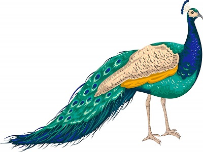 طاووس